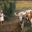 A Civil Rádió Gauranga adásának vendége ezúttal Antardhi dász Krisna-völgy fő-ökrésze vagyis az ökrök, tehenek és borjak szakértője volt. A műsorban életútjáról, a modern világban már egyáltalán nem hagyományos munkájáról, szívének […]