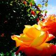 Virágékszerek, virágkertészet, zene, tánc, finomságok. Egy mondás szerint, a virágok mind-mind Isten mosolyát képviselik. A mosolygós nyár érkezését Krisna-völgyben is megünnepeljük, megköszönjük. Vendégeink e napon a virágkertbe is ellátogathatnak. Szentélyünkben pedig […]