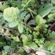 Tévhit, hogy a zord téli napokon nélkülöznünk kell a kertből, erkélyládából származó friss zöldségeket. Persze, a nagy tápanyagtartalmú, tápláló gumók és gyökerek nagyobb részét a tenyészidőszakban kell megtermelnünk, a télen szedhető […]