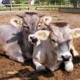 Szakértők szerint a vörös hús fogyasztásának feladása nagyobb mértékben csökkentené a környezetszennyezést, mint a gépkocsik megszűnése. A legújabb tanulmányok bizonyítják, hogy a szarvasmarha tenyésztés mellett eltörpül a többi húsipari tevékenység, mivel […]