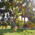 A Krisna-völgyi Isodyana Botanikus Kert sorozatában ezúttal a datolyaszilva (Diospyros kaki), más néven hurma, persimon vagy kákiszilva kerül bemutatásra. Az ébenfafélék (Ebenaceae) családjába tartozó datolyaszilvák több fajjal is képviseltetik magukat a […]